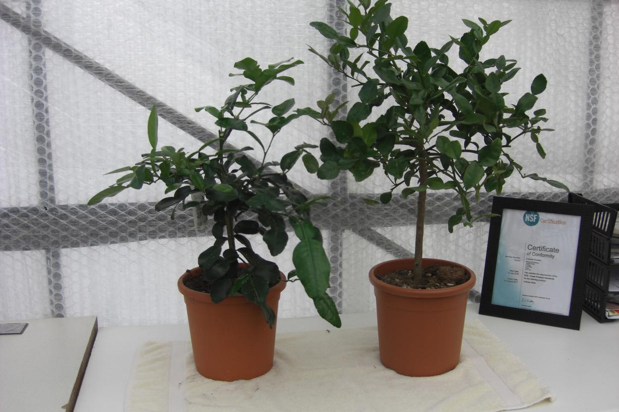 kaffir lime plants