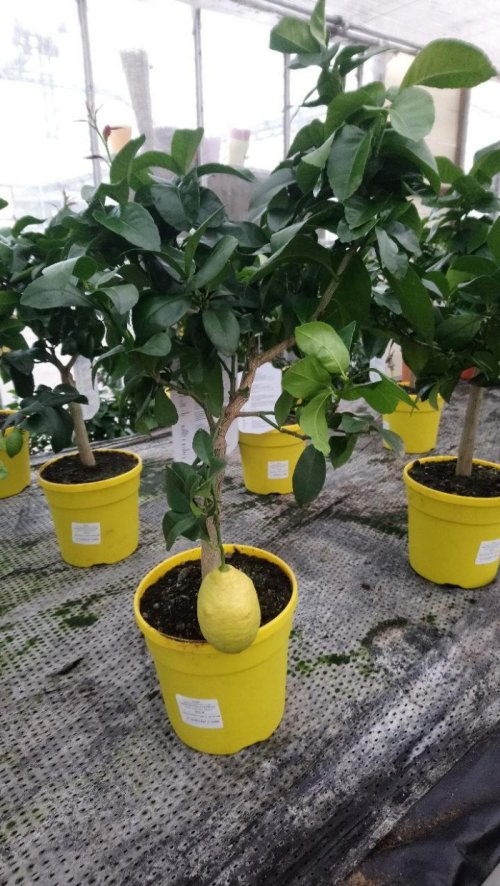 Kaffir Lime Grower and Distributor selling Kaffir Produce and Kaffir Lime Grower and Distributor