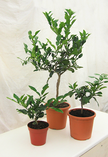 Colonial Growers Young And Mature Kaffir Lime Plants For