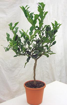 Mature Kaffir Lime Plant