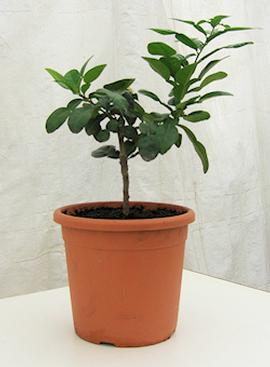 Young Kaffir Lime Plant