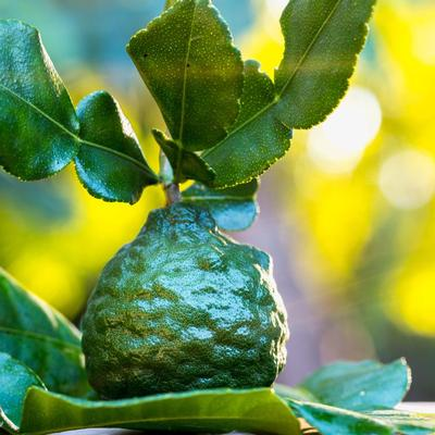 kaffir lime leaves and kaffir limes grown in UK by Colonial Growers