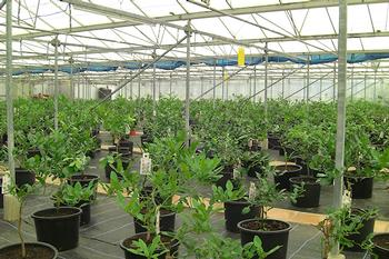 Colonial Grower nursery in Essex, UK growing bergamot plants