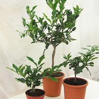 Kaffir lime plants or kaffir lime trees grown in the UK by Colonial Growers