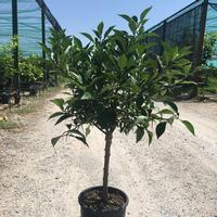 Mature yuzu plants for sale in the UK by Colonial Growers